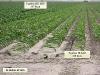 ks1515_corn1